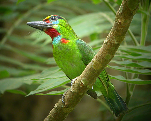 Red-Throated Barbet svg #19, Download drawings