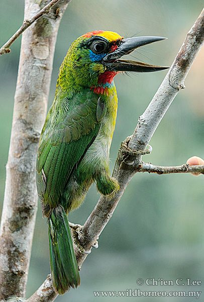 Red-Throated Barbet svg #10, Download drawings