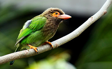 Red-Throated Barbet svg #8, Download drawings