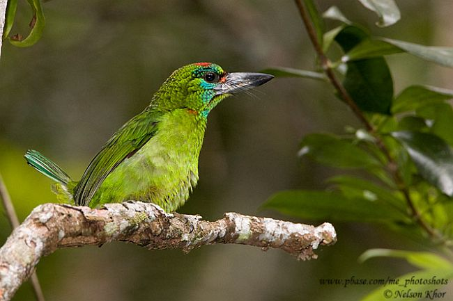 Red-Throated Barbet svg #18, Download drawings