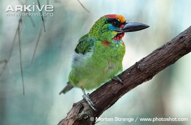 Red-Throated Barbet svg #14, Download drawings