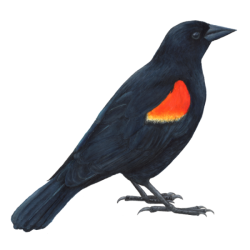 Red-winged Blackbird clipart #19, Download drawings