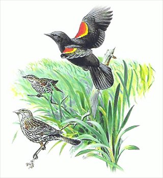 Red-winged Blackbird clipart #11, Download drawings