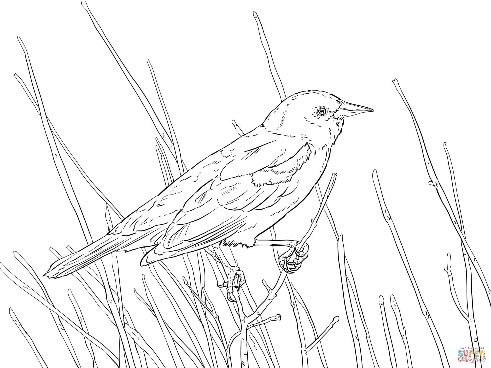 Common Blackbird coloring #9, Download drawings