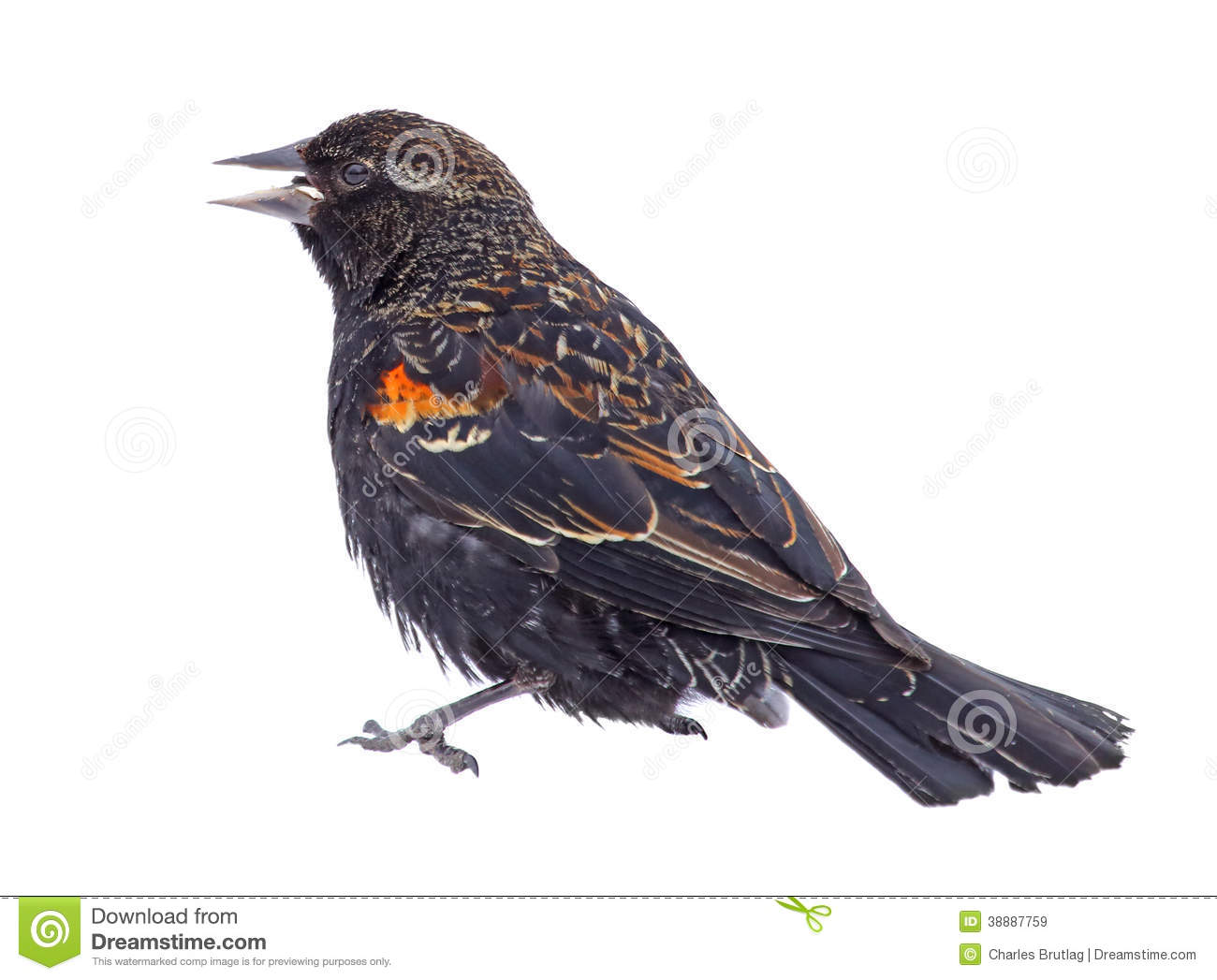 Red-winged Blackbird clipart #12, Download drawings