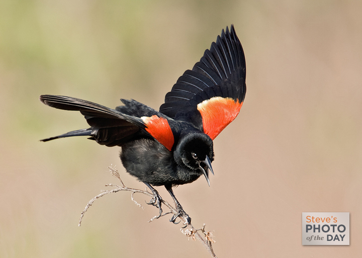 Red-winged Blackbird clipart #2, Download drawings