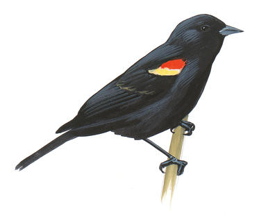 Red-winged Blackbird clipart #20, Download drawings