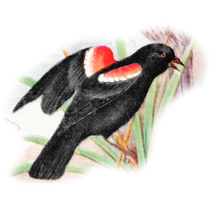 Red-winged Blackbird clipart #17, Download drawings