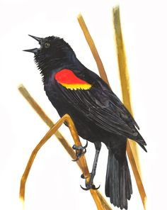 Red-winged Blackbird clipart #8, Download drawings