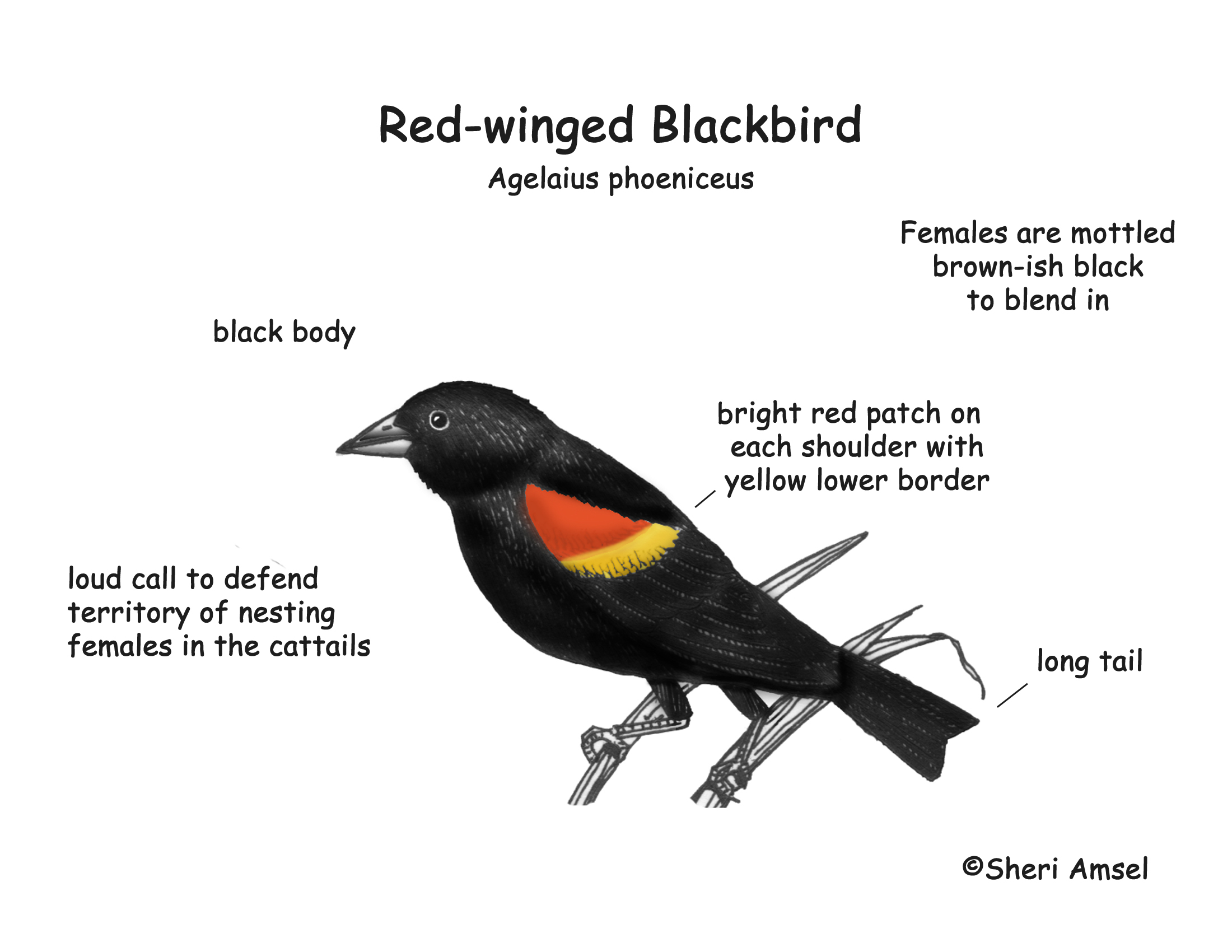 Red-winged Blackbird coloring #8, Download drawings