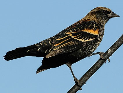 Red-winged Blackbird coloring #6, Download drawings