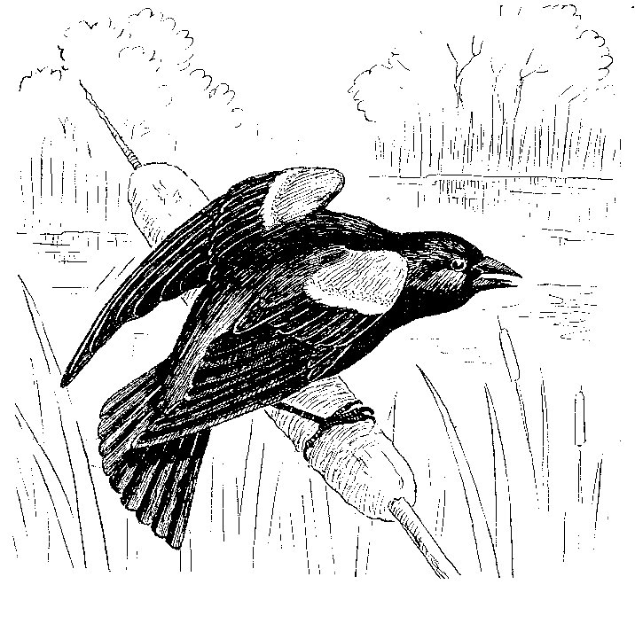 Red-winged Blackbird coloring #13, Download drawings