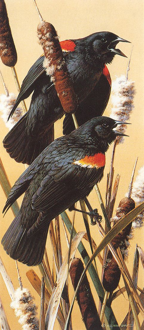 Red-winged Blackbird svg #1, Download drawings