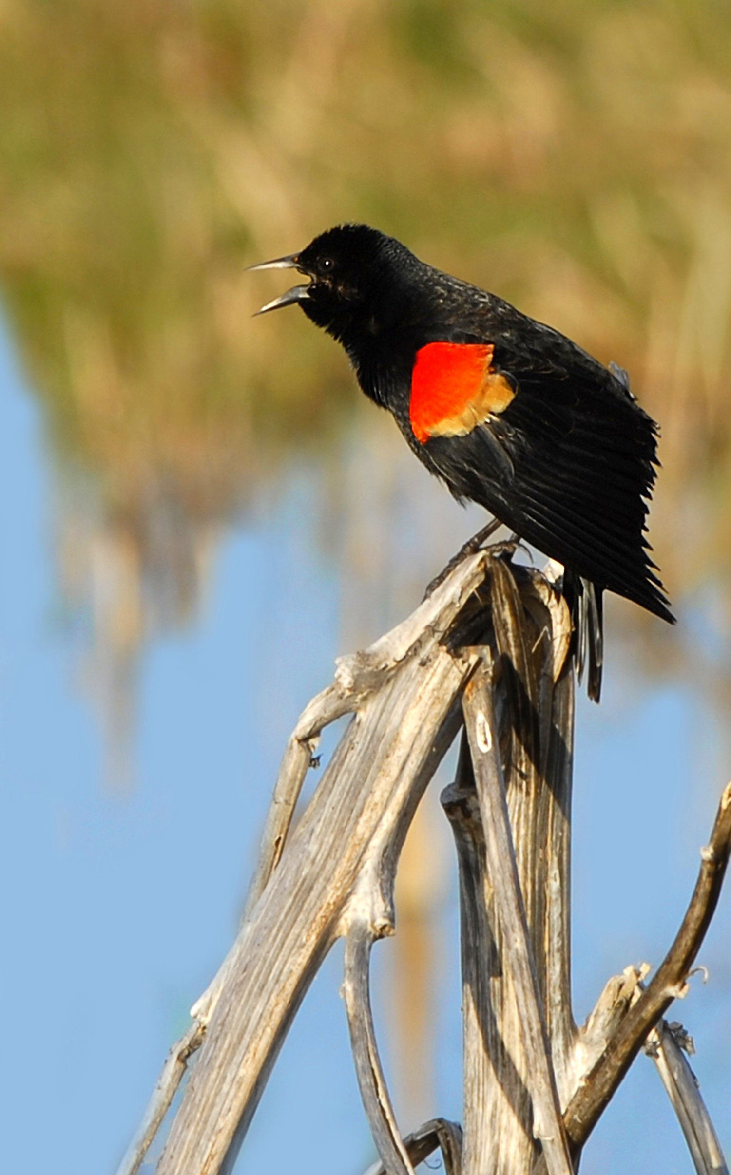 Red-winged Blackbird svg #6, Download drawings