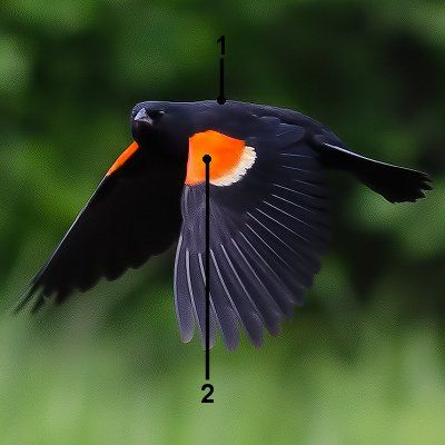 Red-winged Blackbird svg #5, Download drawings
