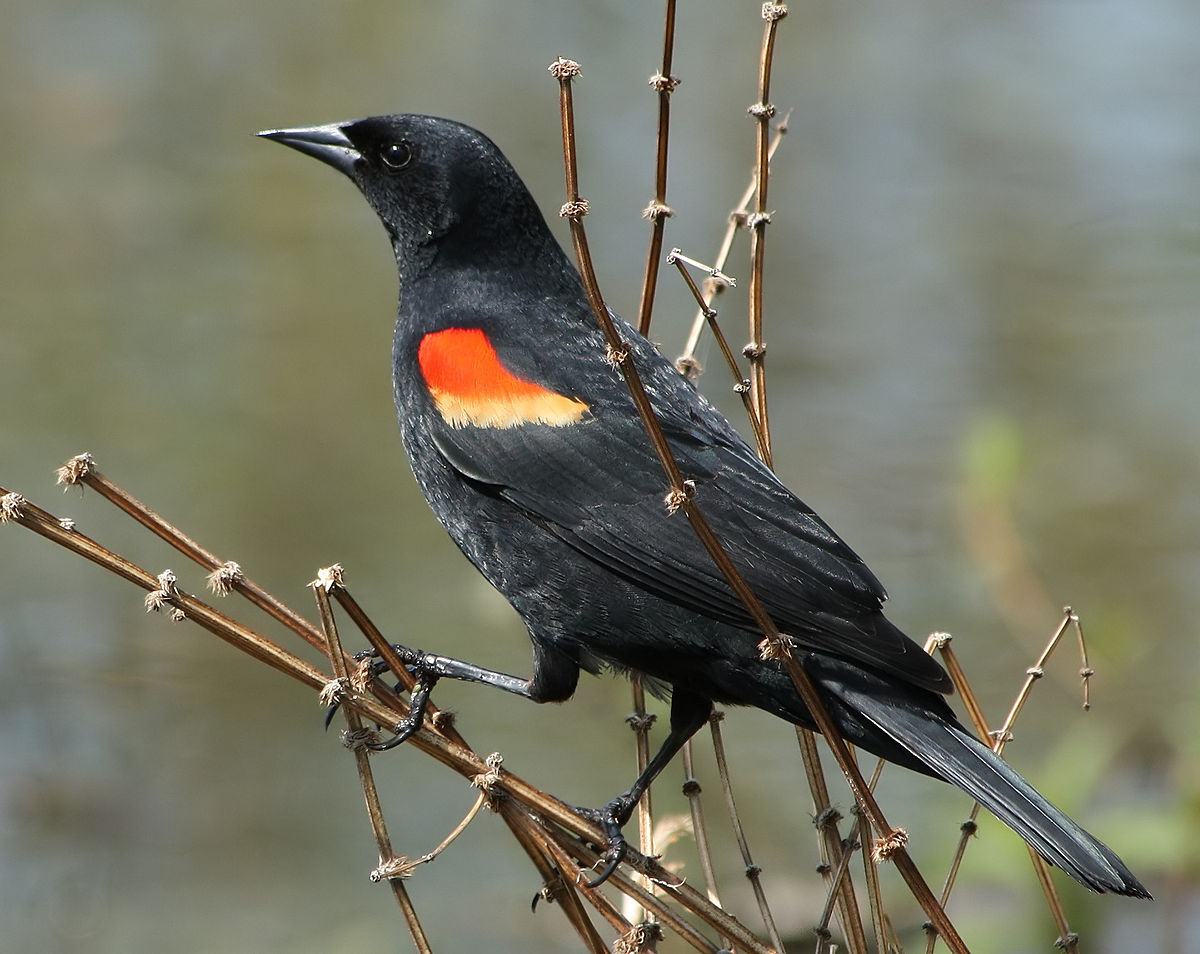 Red-winged Blackbird svg #17, Download drawings