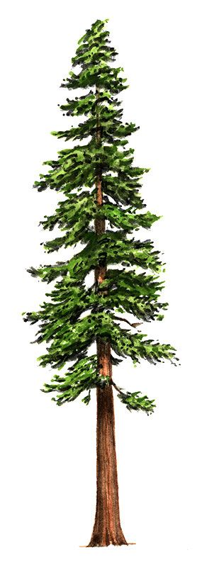 Redwood clipart #20, Download drawings