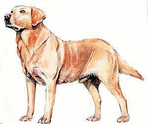 Retriever clipart #19, Download drawings