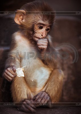 Rhesus Macaque clipart #3, Download drawings
