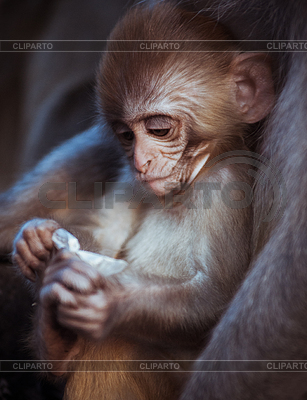 Rhesus Macaque clipart #1, Download drawings