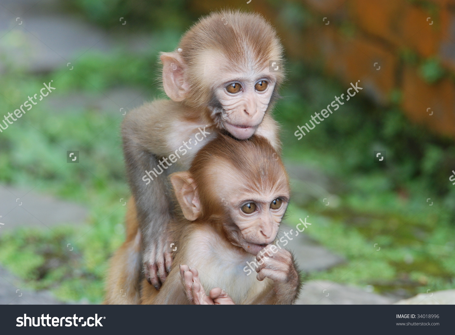 Rhesus Macaque clipart #7, Download drawings