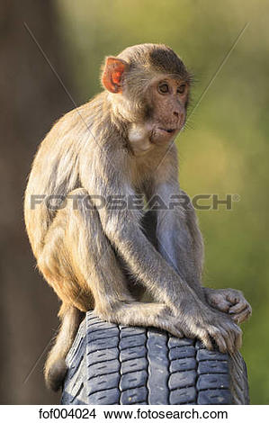 Rhesus Macaque clipart #11, Download drawings