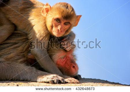 Rhesus Macaque clipart #8, Download drawings
