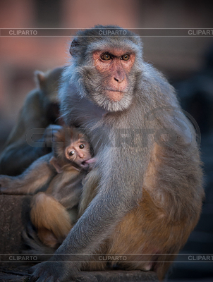 Rhesus Macaque clipart #2, Download drawings