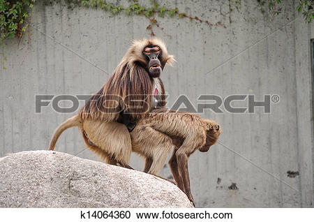 Rhesus Macaque clipart #18, Download drawings