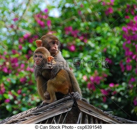 Rhesus Macaque clipart #9, Download drawings