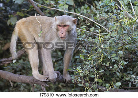 Rhesus Macaque clipart #12, Download drawings