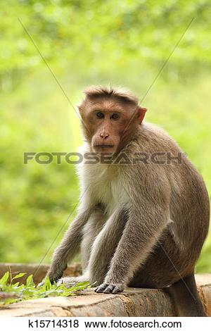 Rhesus Macaque clipart #17, Download drawings