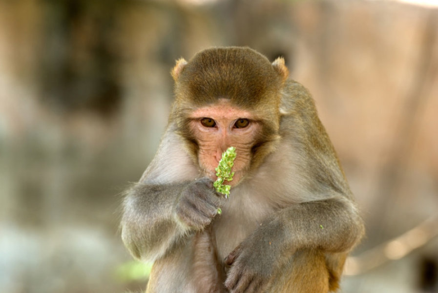Rhesus Macaque coloring #17, Download drawings