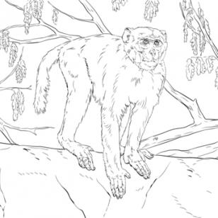 Rhesus Macaque coloring #11, Download drawings