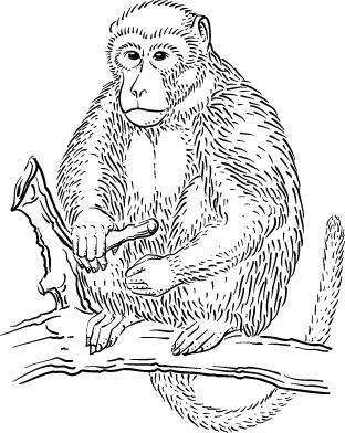 Rhesus Macaque coloring #10, Download drawings