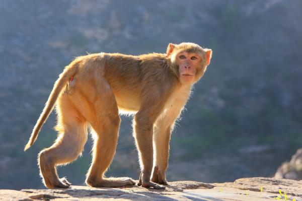 Rhesus Macaque coloring #13, Download drawings