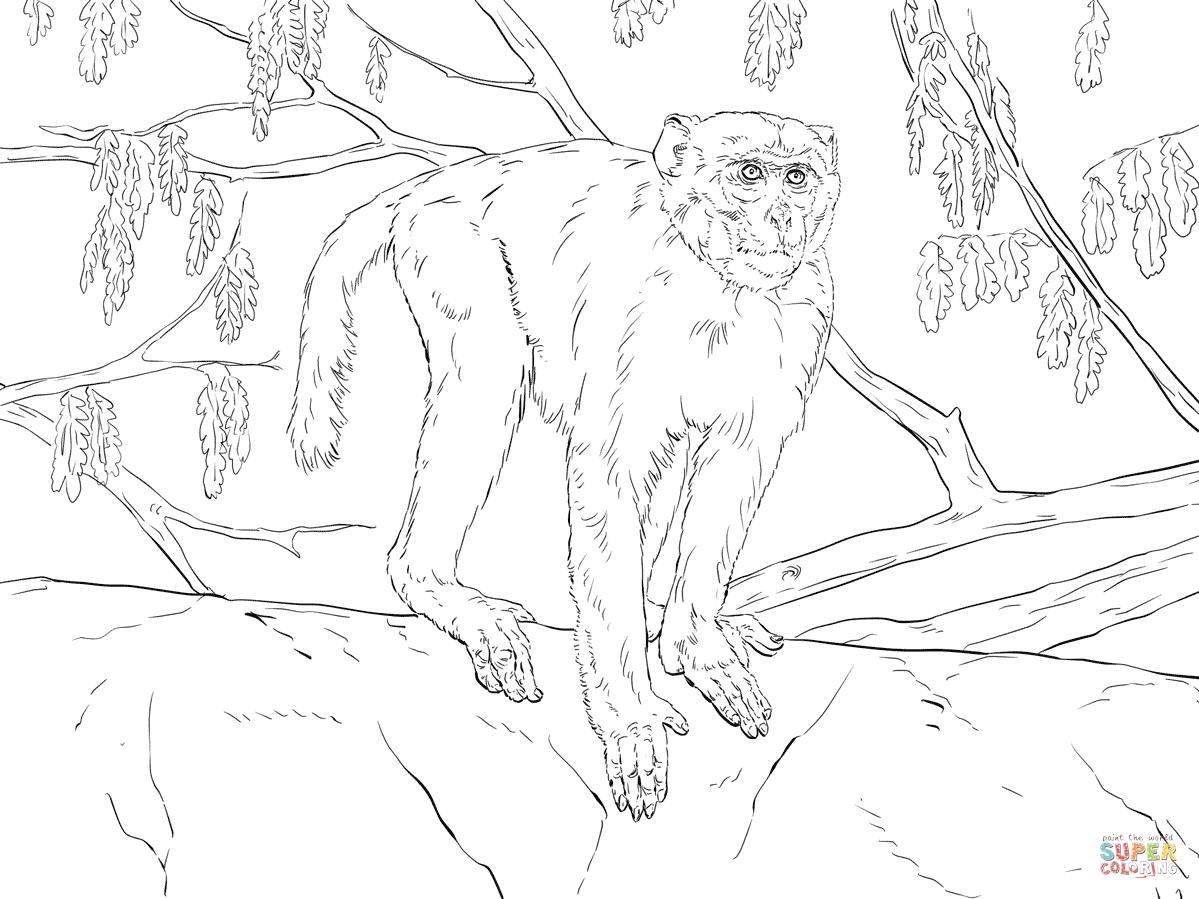 Rhesus Macaque coloring #6, Download drawings