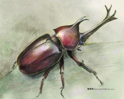 Rhinoceros Beetle coloring #2, Download drawings