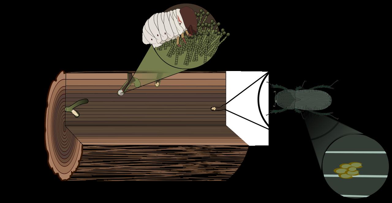 Rhinoceros Beetle svg #3, Download drawings