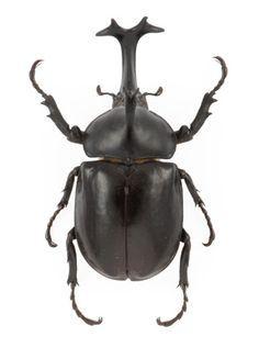 Rhinoceros Beetle svg #5, Download drawings