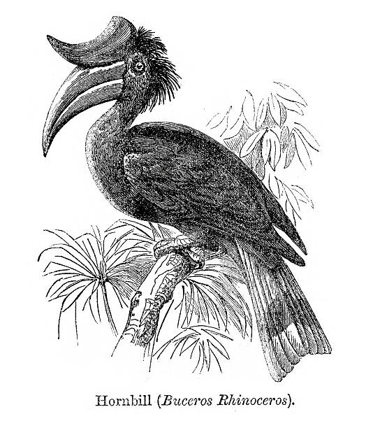Rhinoceros Hornbill clipart #16, Download drawings