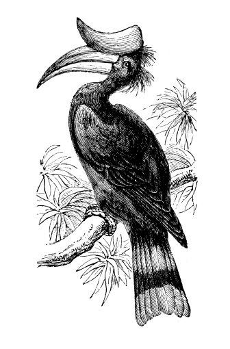 Rhinoceros Hornbill clipart #10, Download drawings