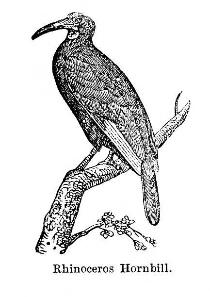 Rhinoceros Hornbill clipart #4, Download drawings