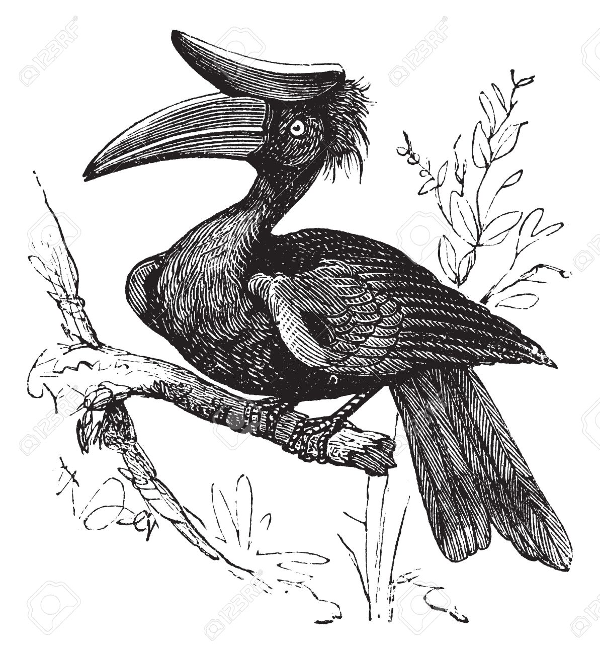 Rhinoceros Hornbill clipart #8, Download drawings
