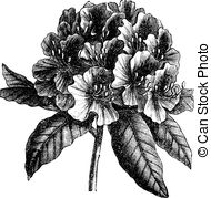Rhododendron clipart #1, Download drawings