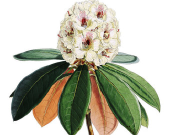 Rhododendron clipart #15, Download drawings