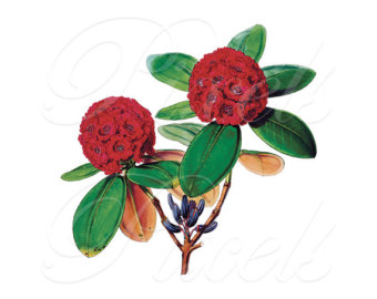 Rhododendron clipart #8, Download drawings