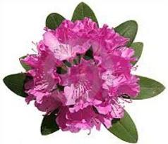 Rhododendron clipart #20, Download drawings