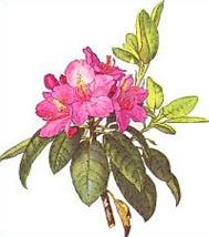 Rhododendron clipart #19, Download drawings