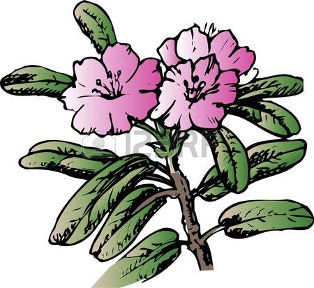 Rhododendron clipart #12, Download drawings